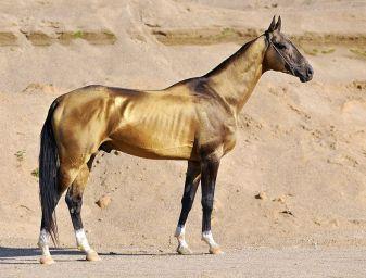Akhal-teke stallion Dagat-Geli, g.buckskin, 2007 (Gaigysyz-Dargi) ~ by Artur Baboev