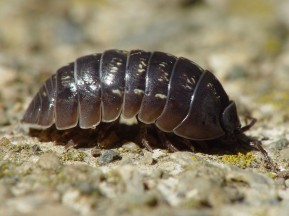 """Armadillidium vulgare 001"" by Franco Folini - San Francisco.California. Licensed under Creative Commons Attribution 2.5 via Wikimedia Commons - http://commons.wikimedia.org/wiki"