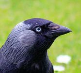 """Jackdaw - up close and personal (552502080)"" by John Haslam from Dornoch, Scotland - Jackdaw - up close and personal. Licensed under Creative Commons Attribution 2.0 via Wikimedia Commons - http://commons.wikimedia.org/wiki/File:Jackdaw_-_up_close_and_personal_(552502080).jpg#mediaviewer/File:Jackdaw_-_up_close_and_personal_(552502080).jpg""Jackdaw - up close and personal (552502080)"" by John Haslam from Dornoch, Scotland - Jackdaw - up close and personal. Licensed under Creative Commons Attribution 2.0 via Wikimedia Commons - http://commons.wikimedia.org/wiki/File:Jackdaw_-_up_close_and_personal_(552502080).jpg#mediaviewer/File:Jackdaw_-_up_close_and_personal_(552502080).jpg"